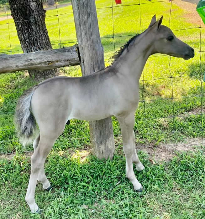 miniature horse stallion for sale in texas