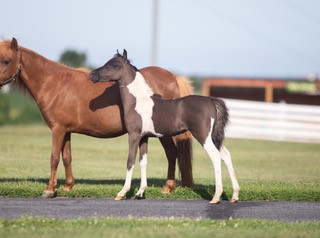 mini horse baby for sale