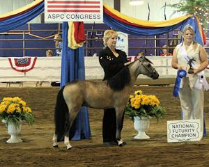 mini buckskin shetland stallion for sale