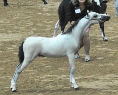 buckskin mini horse foal