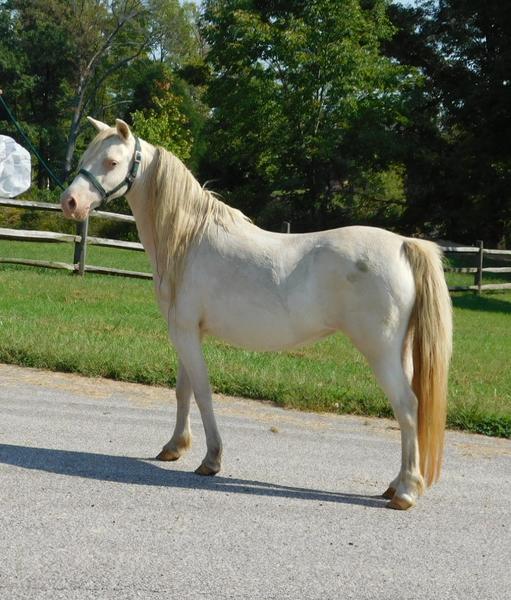 cremello mini mare for sale