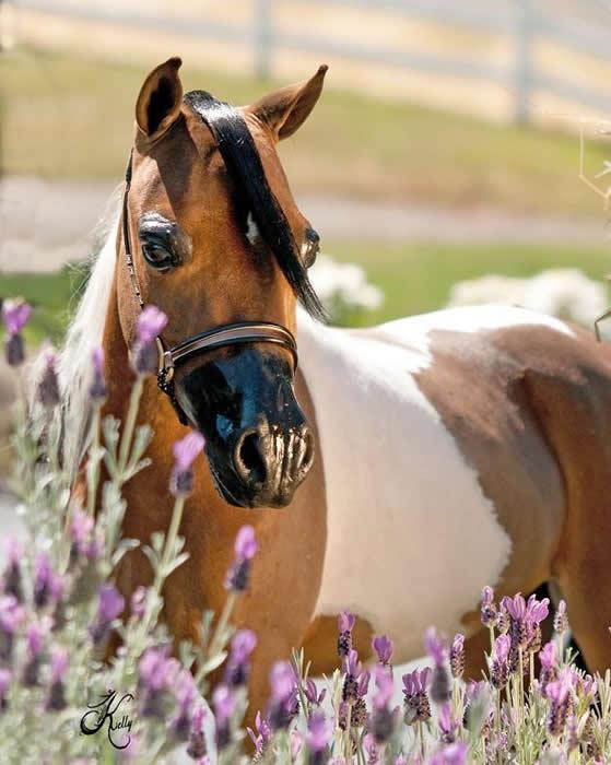 mini horse broodmare for sale