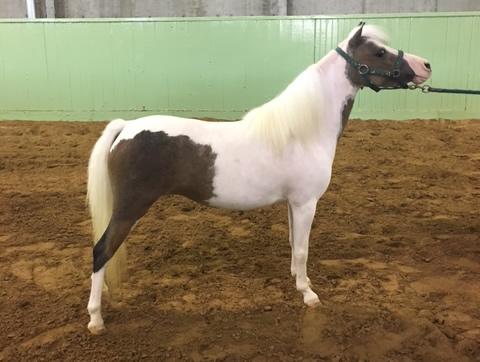 miniature horse mare