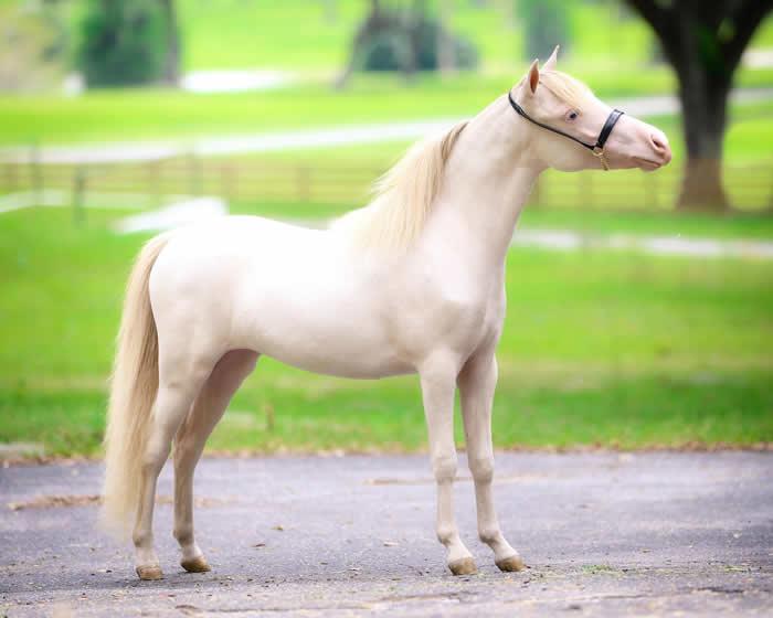 mini horse perlino mare for sale in ocala florida
