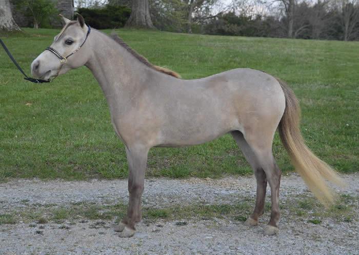 mini horse mare for sale